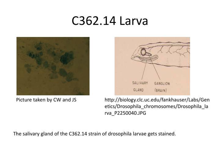 C362.14 Larva