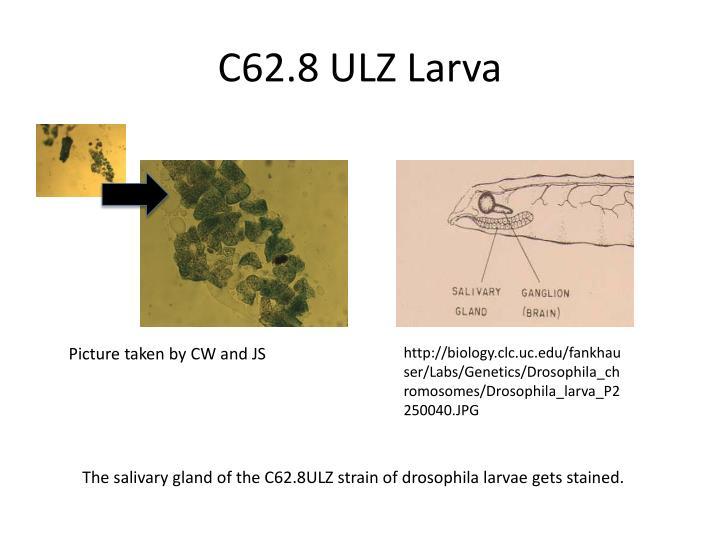 C62.8 ULZ Larva