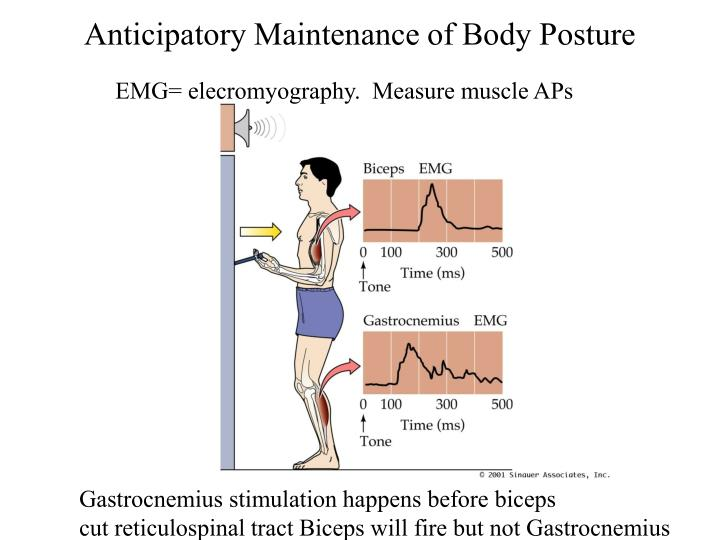 Anticipatory Maintenance of Body Posture