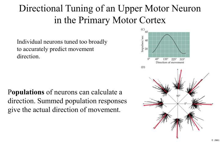 Directional Tuning of an Upper Motor Neuron in the Primary Motor Cortex