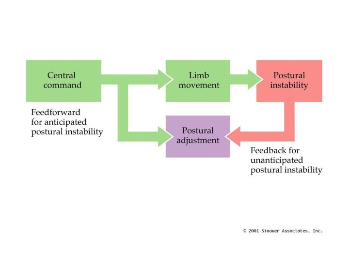 Feedforward and Feedback Mechanisms of Postural Control
