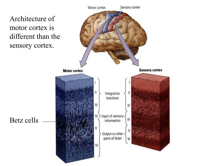 Architecture of motor cortex is different than the sensory cortex.