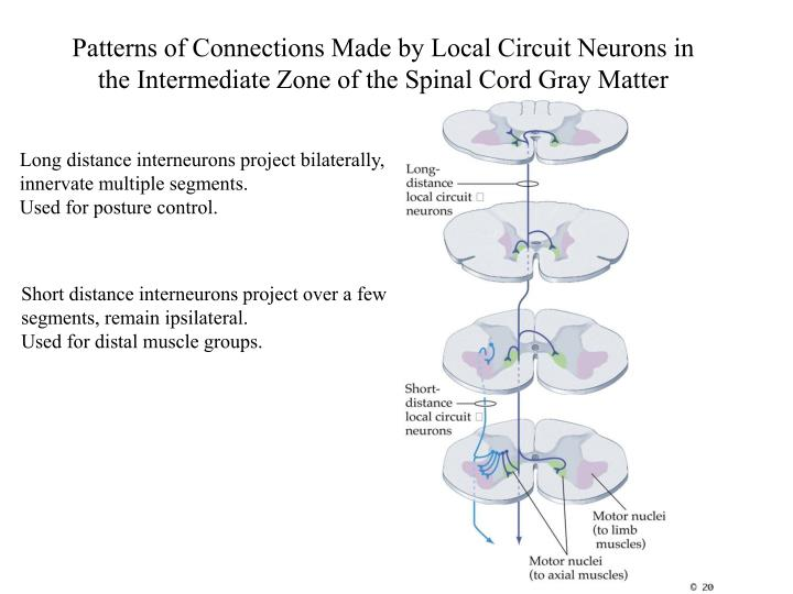 Patterns of Connections Made by Local Circuit Neurons in the Intermediate Zone of the Spinal Cord Gr...