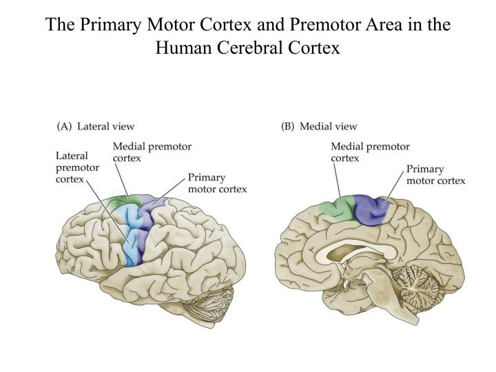 The Primary Motor Cortex and Premotor Area in the Human Cerebral Cortex