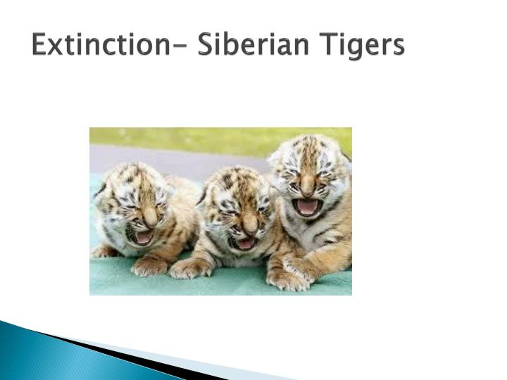 Extinction- Siberian Tigers