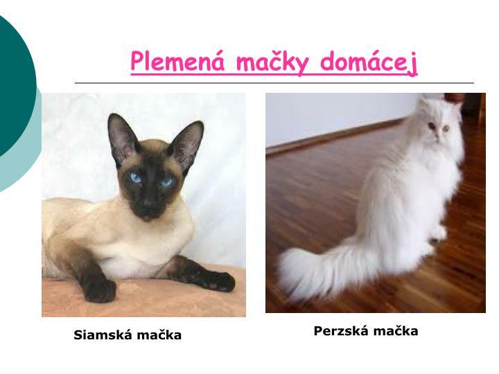 Plemená mačky domácej