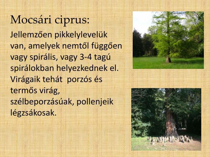 Mocsári ciprus: