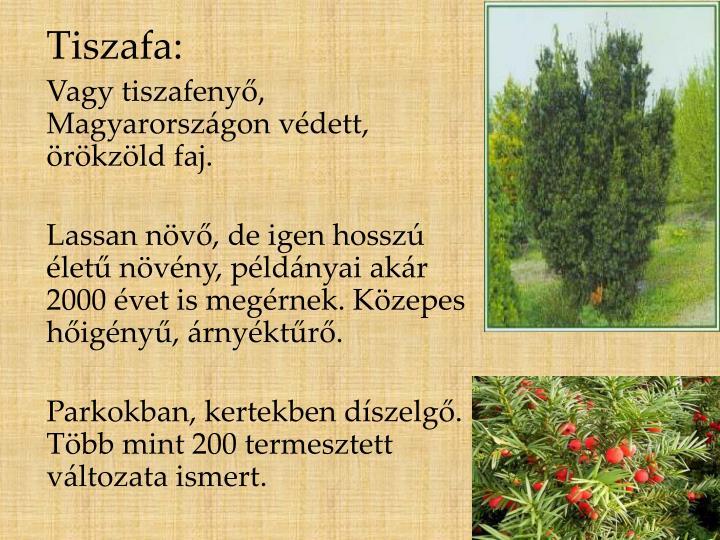 Tiszafa: