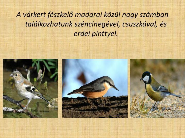 A várkert fészkelő madarai közül nagy számban találkozhatunk széncinegével, csuszkával, és erdei pinttyel.