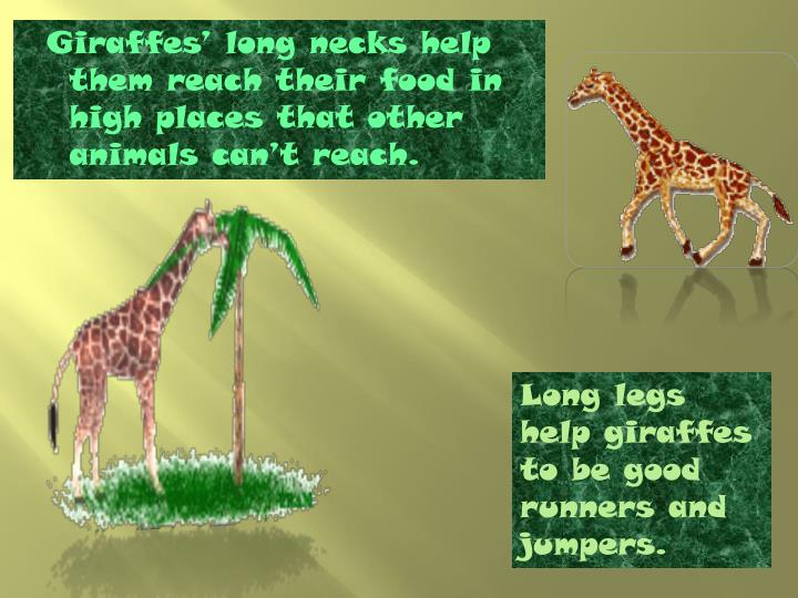 Giraffes' long necks help them reach their food in high places that other animals can't reach.