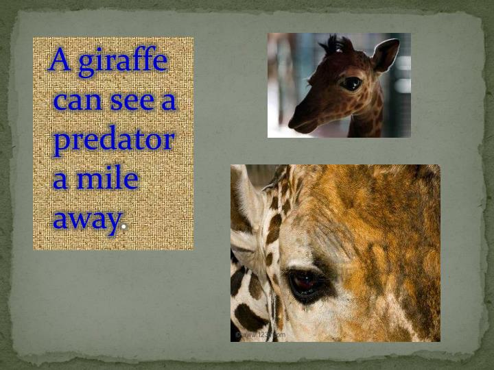A giraffe can see a predator a mile away