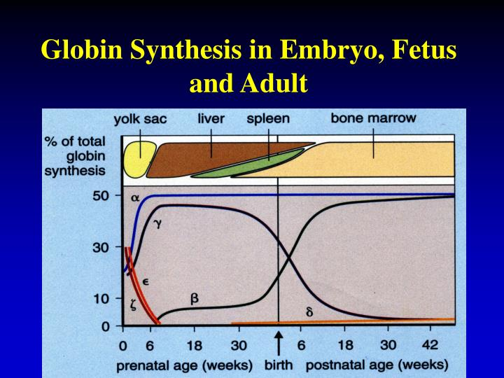 Globin Synthesis in Embryo, Fetus and Adult