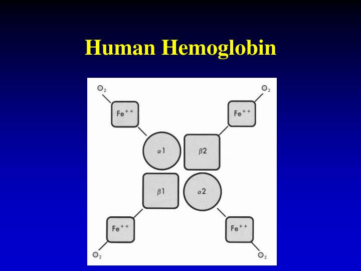 Human Hemoglobin