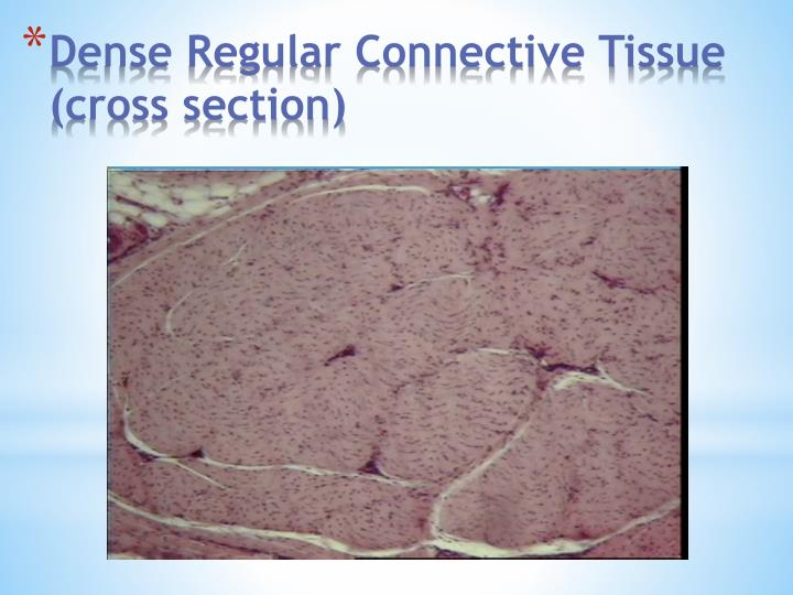 Dense Regular Connective Tissue