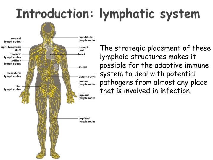 Introduction: lymphatic system