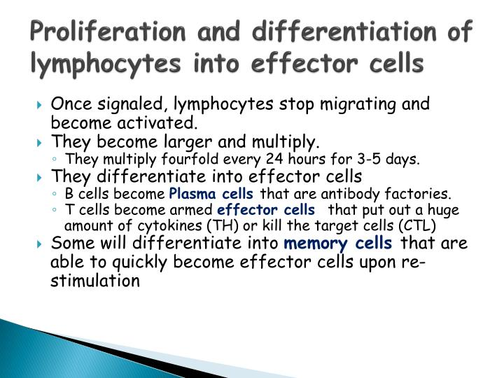 Proliferation and differentiation of lymphocytes into effector cells