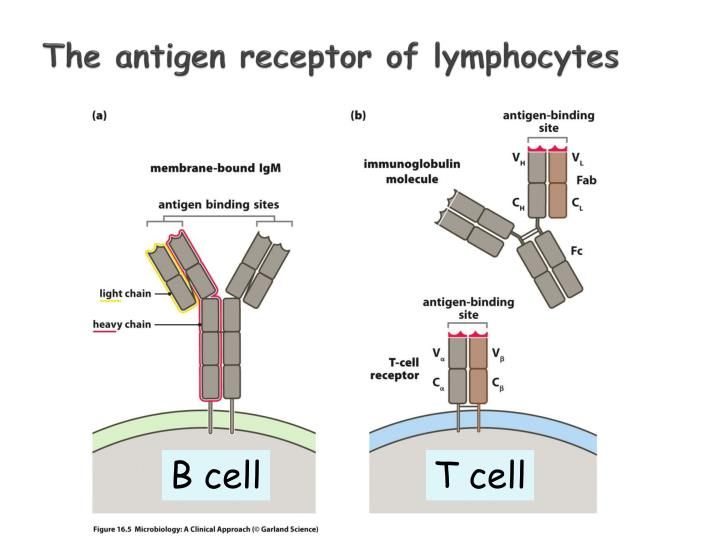 The antigen receptor of lymphocytes