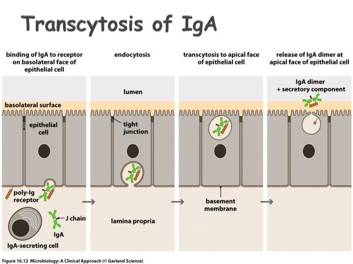 Transcytosis