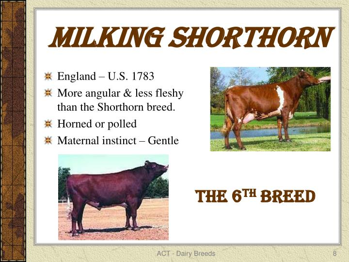 MILKING SHORTHORN