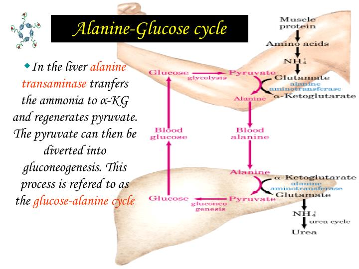Alanine-Glucose cycle