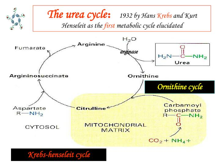 The urea cycle
