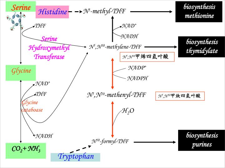 Serine Hydroxymethyl Transferase
