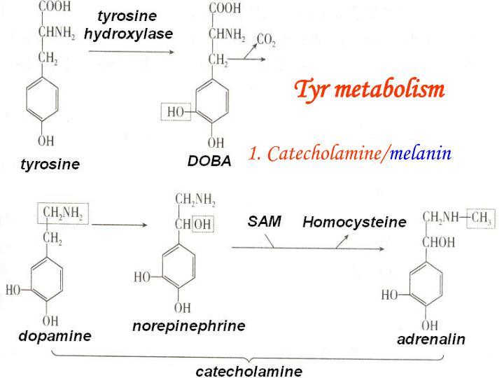 Tyr metabolism