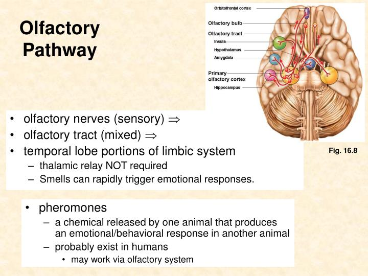 olfactory nerves (sensory)