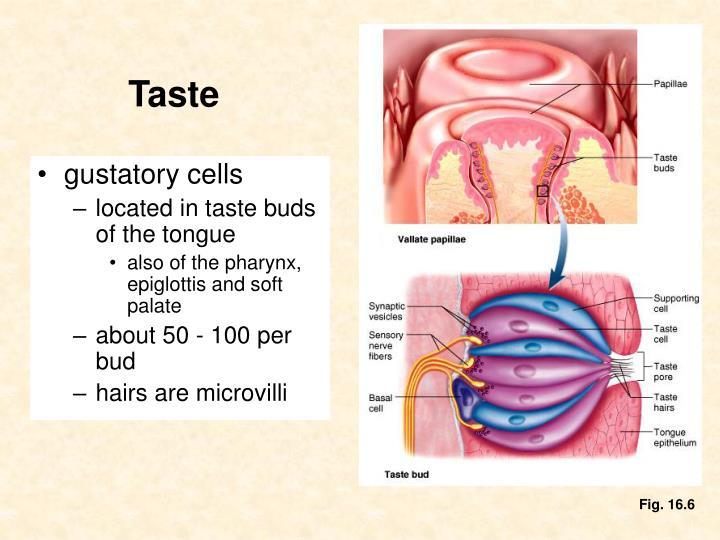 gustatory cells