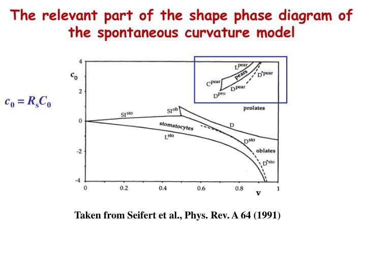 The relevant part of the shape phase diagram of the spontaneous curvature model