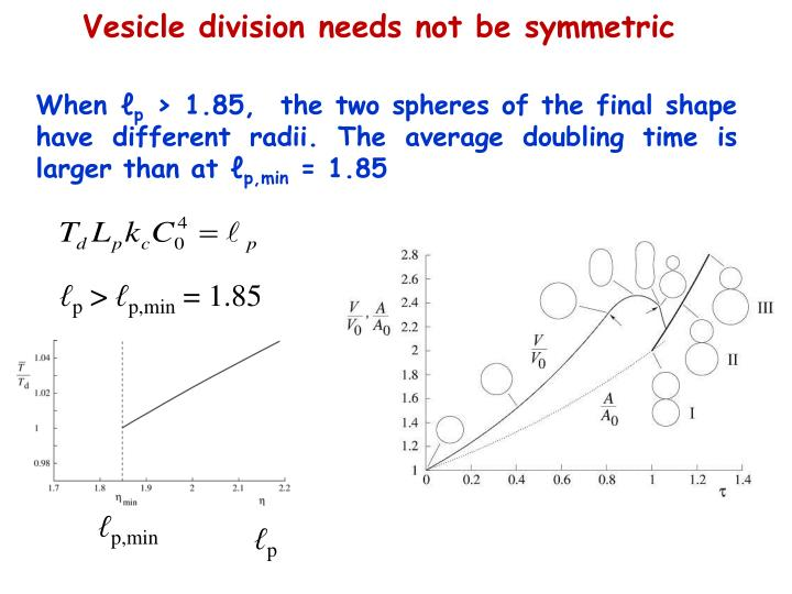 Vesicle division needs not be symmetric