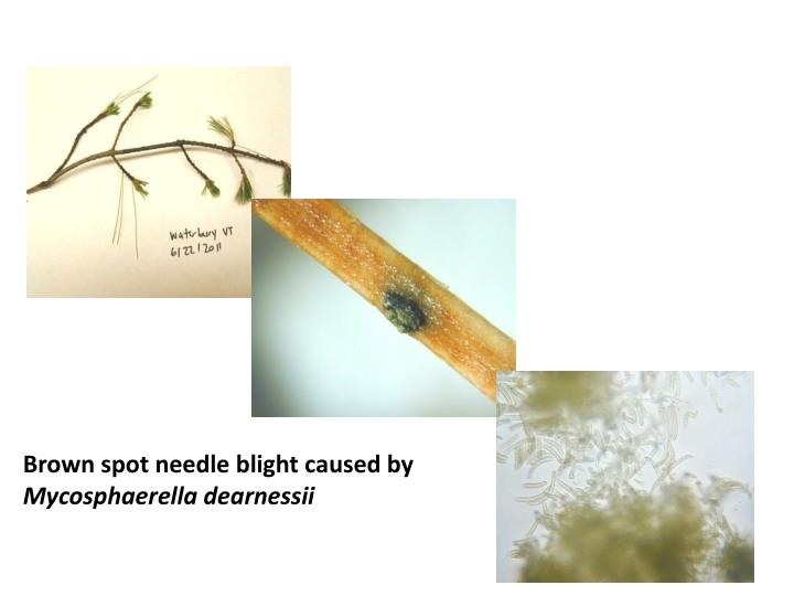 Brown spot needle blight caused by