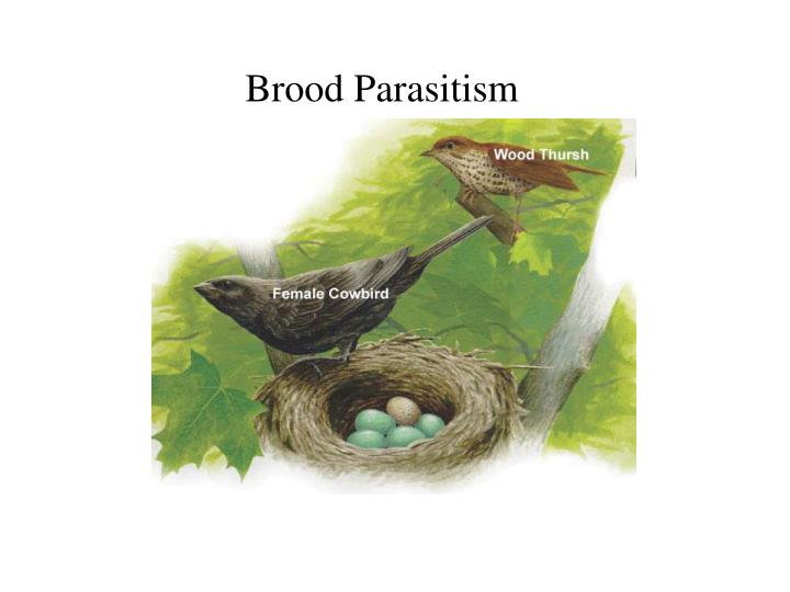Brood Parasitism