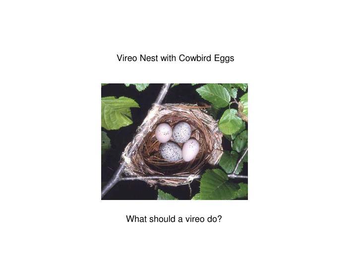 Vireo Nest with Cowbird Eggs