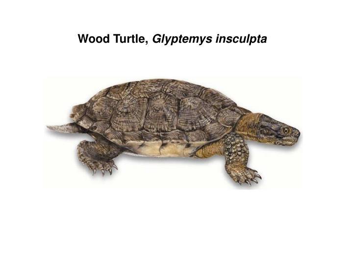 Wood Turtle,