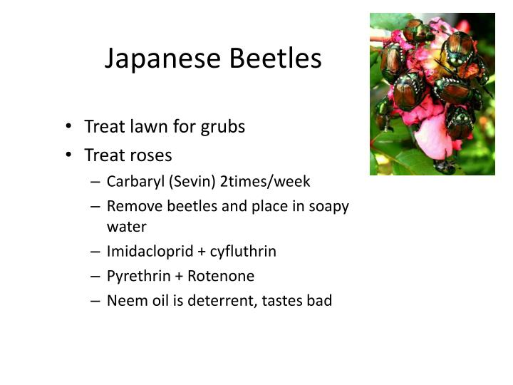 Japanese Beetles