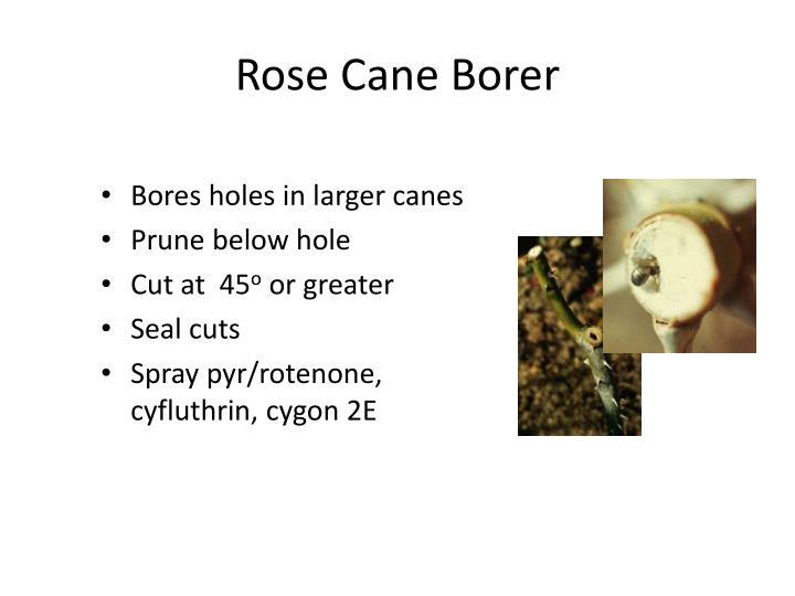 Rose Cane Borer