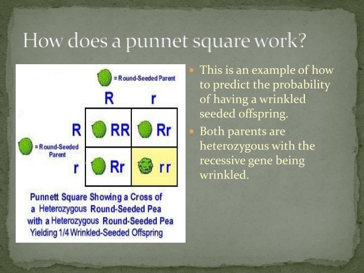 How does a punnet square work?