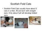 scottish fold cats4
