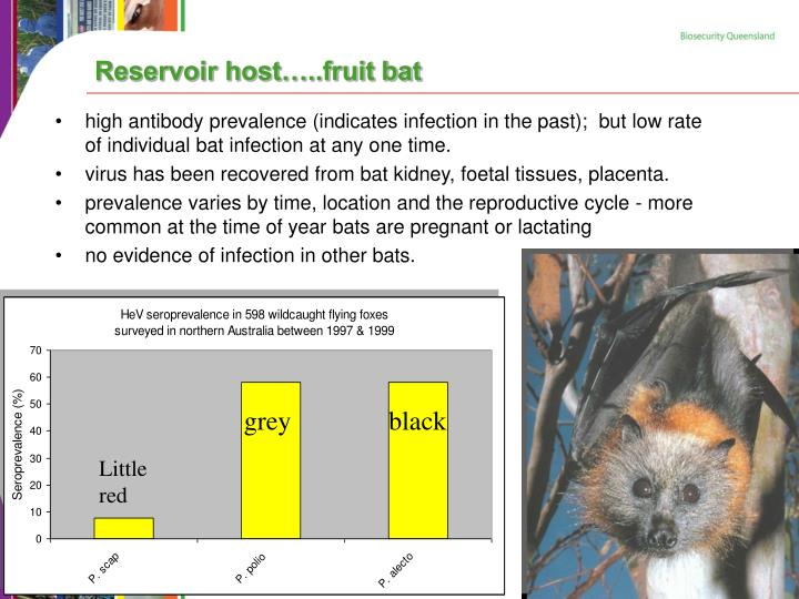 Reservoir host…..fruit bat