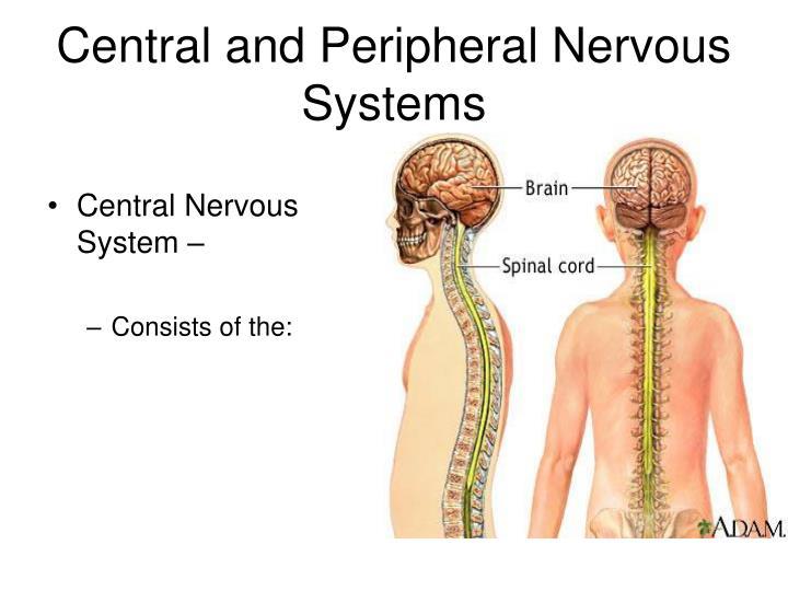Central Nervous System –