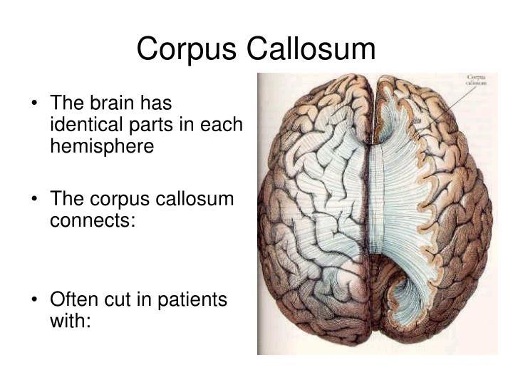 The brain has identical parts in each hemisphere