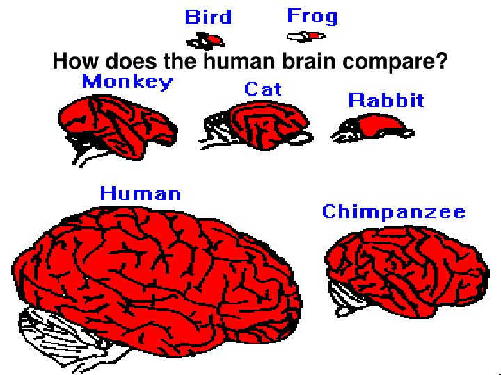 How does the human brain compare?