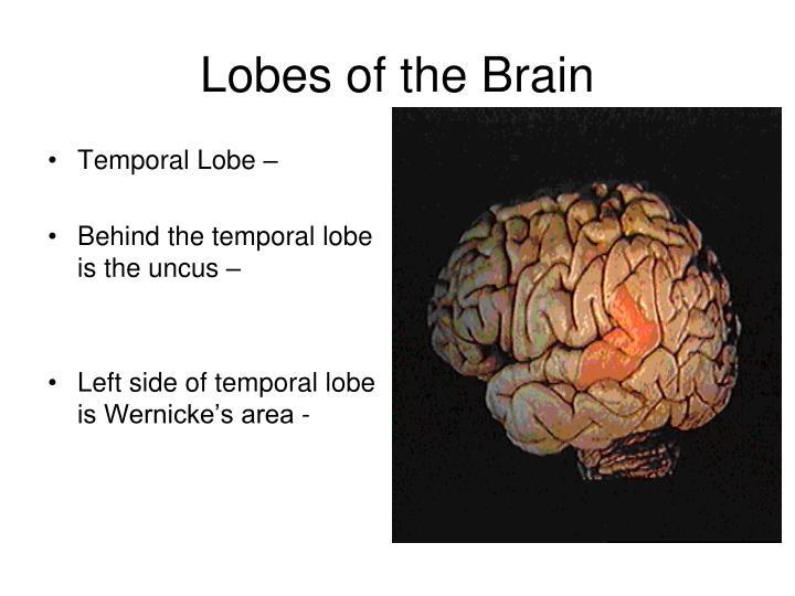 Temporal Lobe –