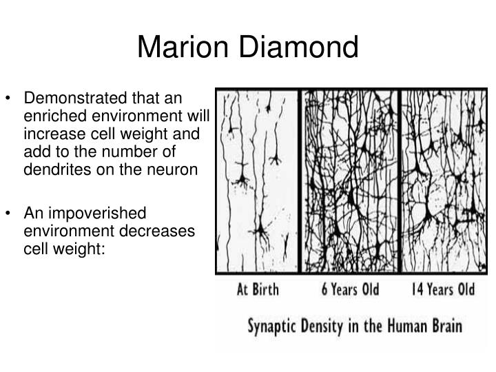 Demonstrated that an enriched environment will increase cell weight and add to the number of dendrites on the neuron