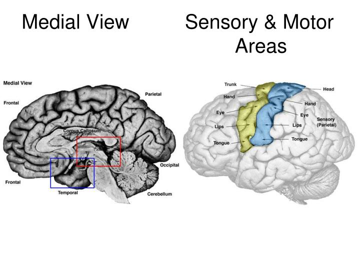 Medial View          Sensory & Motor
