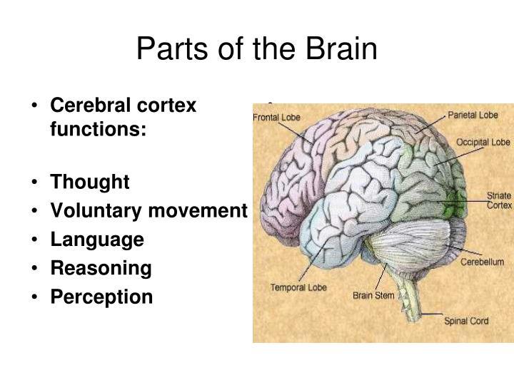 Cerebral cortex functions: