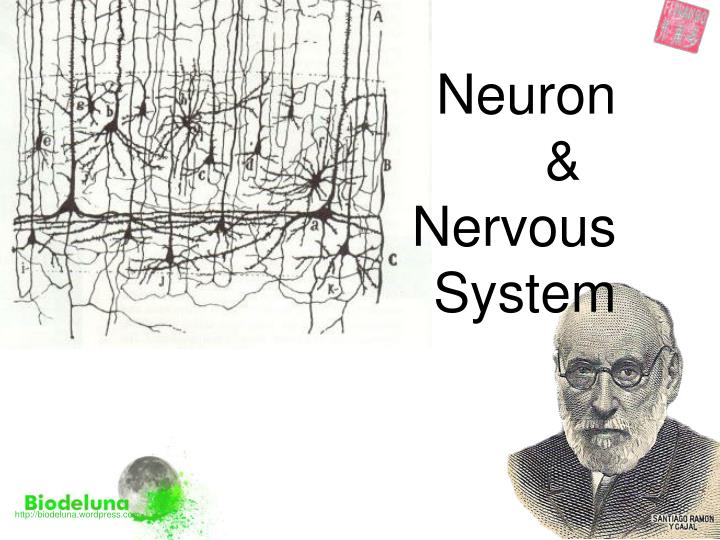 Neuron nervous system
