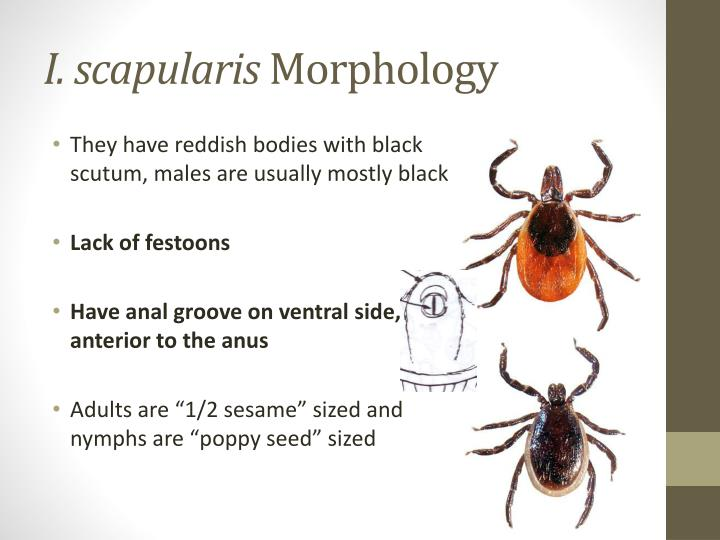 I. scapularis