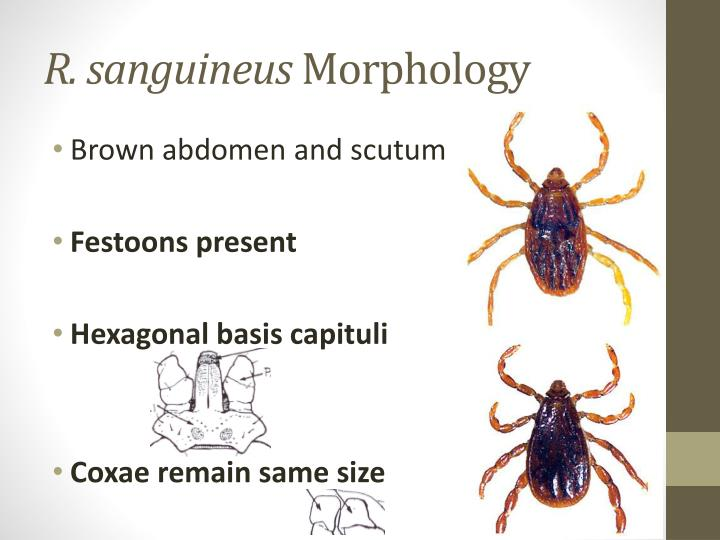 R. sanguineus